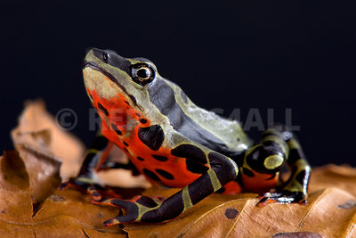Limon harlequin toad (Atelopus sp Limon)  photos