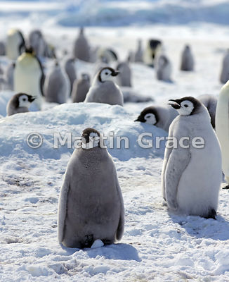 Emperor Penguin (Aptenodytes forsteri) chicks, by Snow Hill Island, Weddell Sea, Antarctica