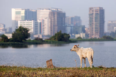 Cows graze on a strip of land in the East Kolkata wetlands, Kolkata, India. In the distance is Salt Lake City. Cows are actually uncommon in the wetlands, which is a very good thing.