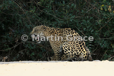 Female Jaguar (Panthera onca) 'Hunter' (barely visible) is mated by 'Hero', Three Brothers River, Northern Pantanal, Mato Grosso, Brazil. Image 20 of 62; elapsed time 30mins