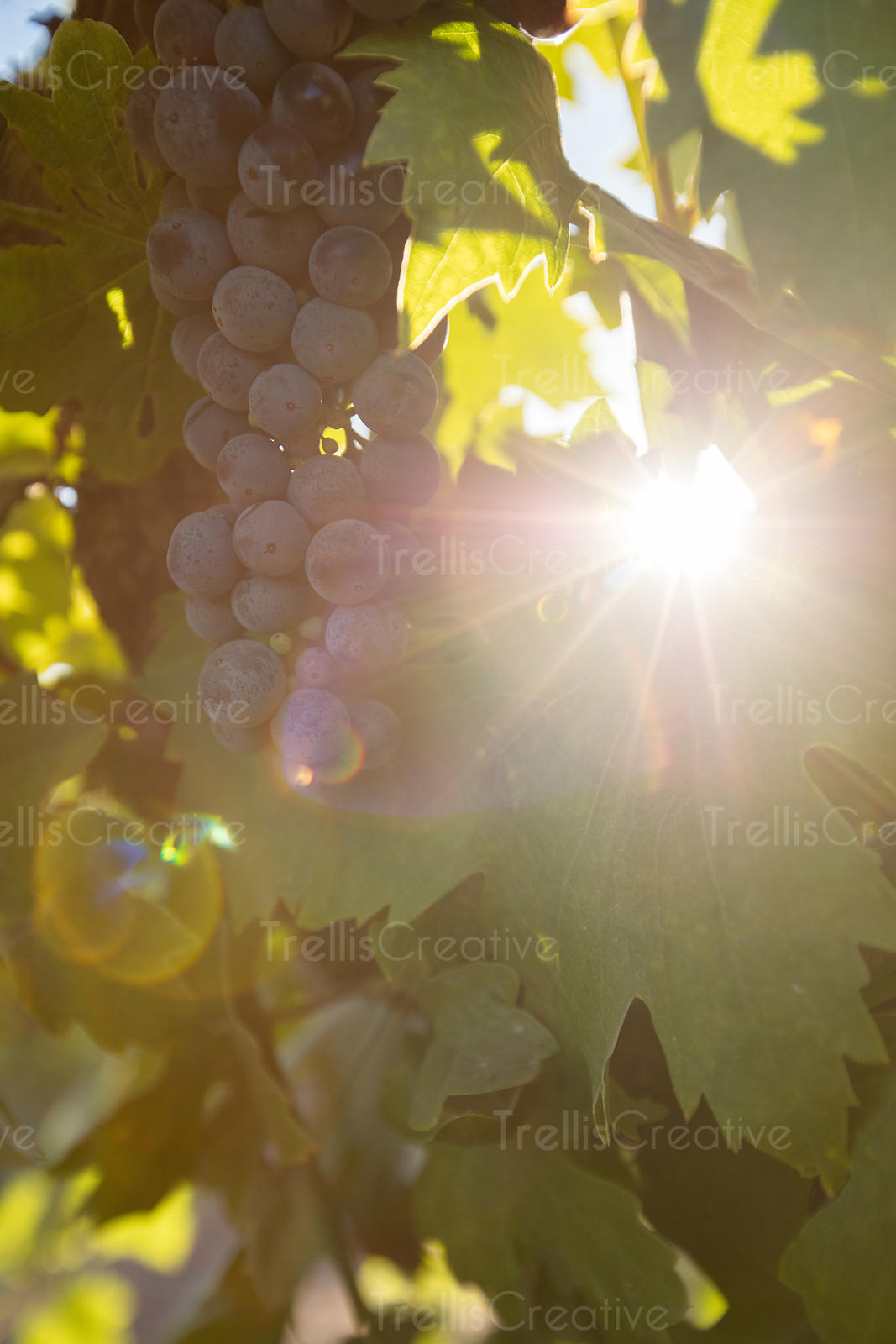 Close-up of beautiful red grapes on a vine with the sunlight filtering through