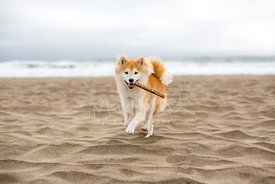 Shiba Inu Running on Beach with a Stick in Mouth on Overcast Day