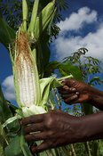 Close up of hands removing leaves from corn picked from the plant Uganda Africa