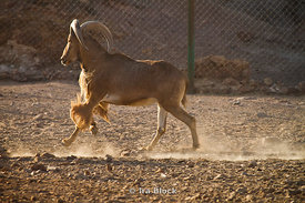A Barbary Sheep running thru the wildlife reserve near the Desert Islands Resort and Spa on Sir Bani Yas Island.