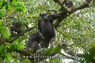 Chimpanzees, Pan troglodytes, Tongo forest, Virunga National Park, DR Congo