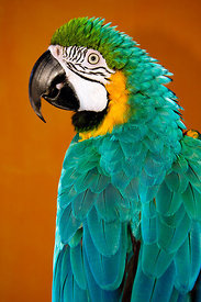 profile of colorful parrot