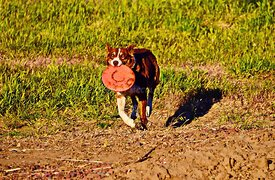 Dog retrieving Frisbee