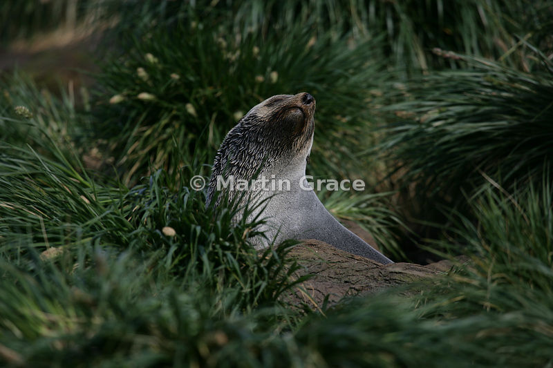 Male Antarctic Fur Seal (Arctocephalus gazella) in tussac grass, Gold Harbour, South Georgia