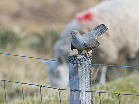 Common Cuckoo Cuculus canorus male Peak District May