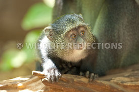 Blue Monkey Baby Peering