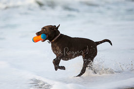Chocolate Labrador Running through Surfline with Toy in Mouth