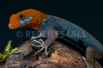 Red-headed dwarf gecko (Gonatodes albogularis fuscus) photos