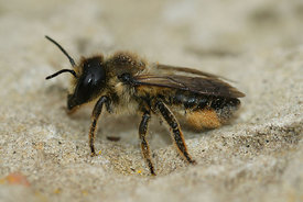 Megachile - Leaf cutter bee species ( to id.)