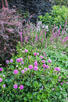 The Walled Garden planted with purples, pinks and blues including dahlias, Lythrum salicaria 'Lady Sackville', Berberis thunbergii f. atropurpurea 'Harlequin' and dark leaved elder. Bosvigo, Truro, Cornwall, UK