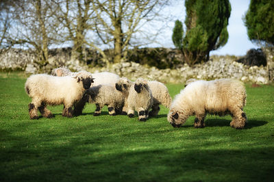 Barnaby loves sheep. these ones are very very rare and are called Valais Blacknose and alsmot look cartoon like!
