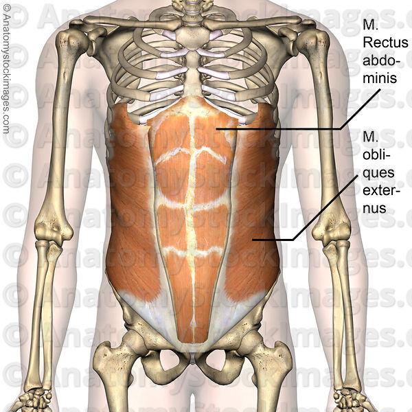 Anatomy of torso left side