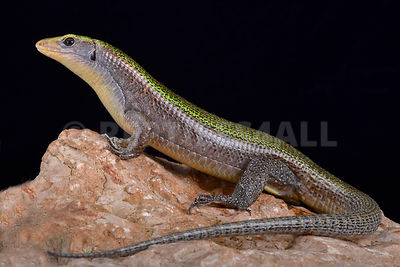 Green Madagascar girdled lizard (Zonosaurus haraldmeieri)  photos