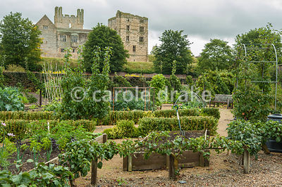 Area devoted to vegetable growing for the cafe, and for community allotments, with dramatic backdrop of Helmsley Castle. Helmsley Walled Garden, Helmsley, York, North Yorkshire, UK