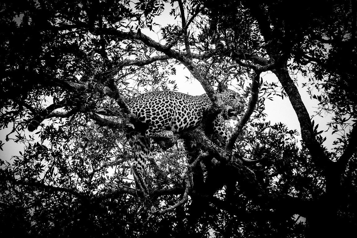 4748-Leopard_perched_in_a_tree_Laurent_Baheux