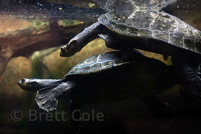 Yellow-spotted Amazon River turtles (Podocnemis unifilis) mating, National Zoo, Washington, D.C.