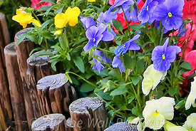 Pansies in Rockport, MA