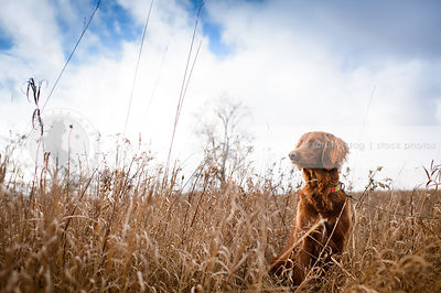 alert setter dog sitting in field of dried grasses under sky