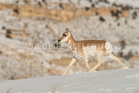 pronghorn_snow_stepper-1
