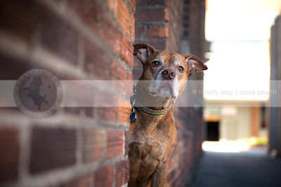 curious red pitbull dog peeking from doorway in urban brick alley