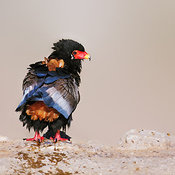 Wet Bateleur eagle resting at a waterhole in the kalahari desert