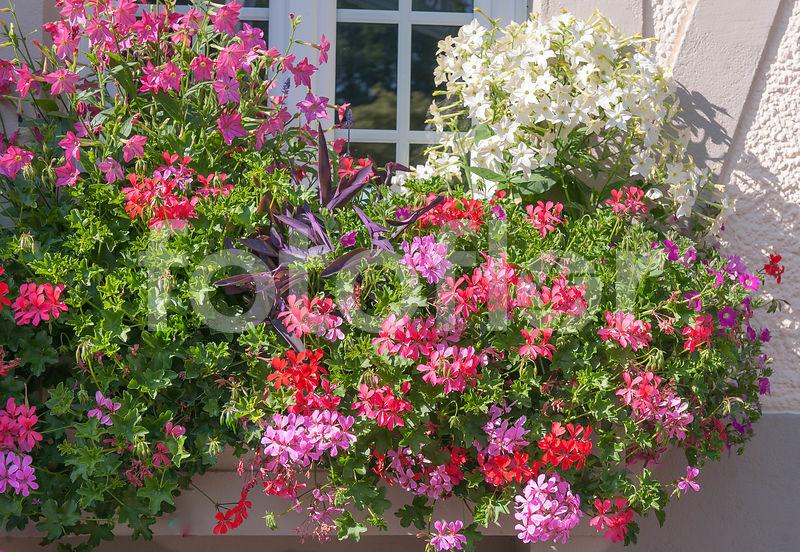 photo de pelargonium peltatum nicotiana alata jardini re de fleurs d 39 t et pelargonium m lange. Black Bedroom Furniture Sets. Home Design Ideas