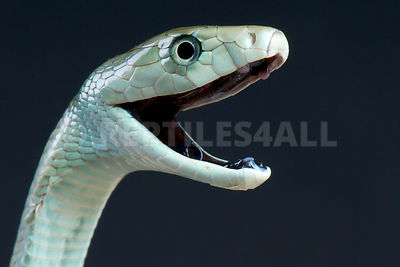 Black mamba / Dendroaspis polylepis photos