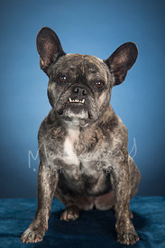 French Bulldog with Underbite Sitting Against Blue Background in Studio