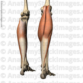 lowerleg-musculus-triceps-surae-calf-muscle-gastrocnemius-mediale-laterale-soleus-achilles-tendon-tuber-calcanei-back