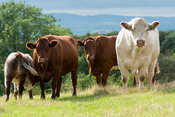 Beef Shorthorn cattle on pasture, Worcestershire.