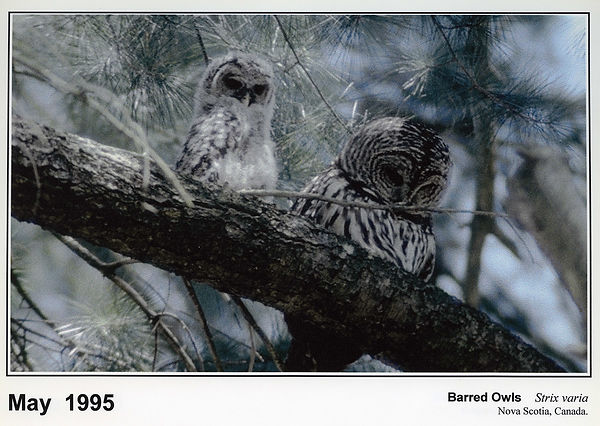Barred Owls photos