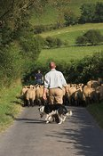 Shepherd taking lambs down road with collie dog
