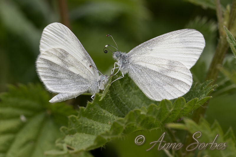 Wood White (Leptidea sinapis) photos