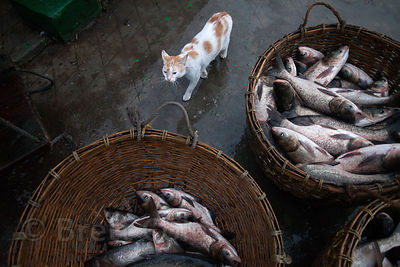 A cat lurks hungrily around the morning's catch of fishermen in Chingrihata, East Kolkata Wetlands, Kolkata, India.