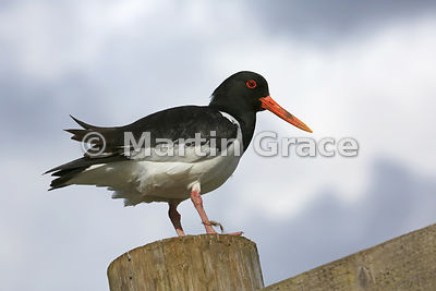 Eurasian Oystercatcher (Haematopus ostralegus) standing on a large fence post, Badenoch & Strathspey, Inverness-shire, Scotland