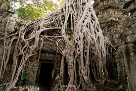Tetramelese tree growing over the Ta Prohm temple, originally called Rajavihara, at Angkor in Siem Reap, Cambodia.