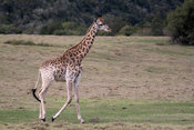 Giraffe, Plettenberg Bay, South Africa