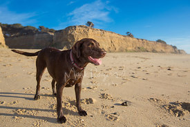 Brown Labrador Standing on Beach under Blue Sky
