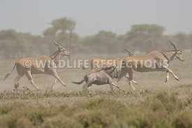 Eland and Wildebeest Stampede 3