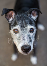 Brown Eyed Senior Dog with Grey Muzzle Looking Up