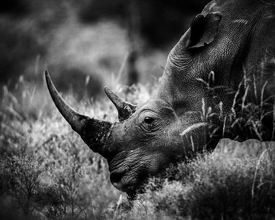 7955-White_rhino_grazing_grass_Laurent_Baheux
