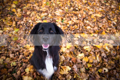 happy black and white dog sitting in autumn leaves