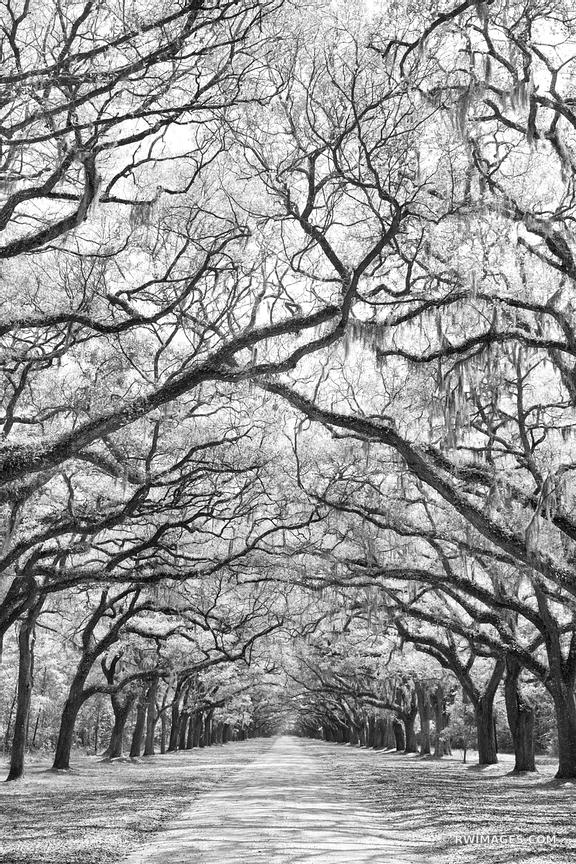 WORMSLOE PLANTATION SAVANNAH GEORGIA BLACK AND WHITE VERTICAL