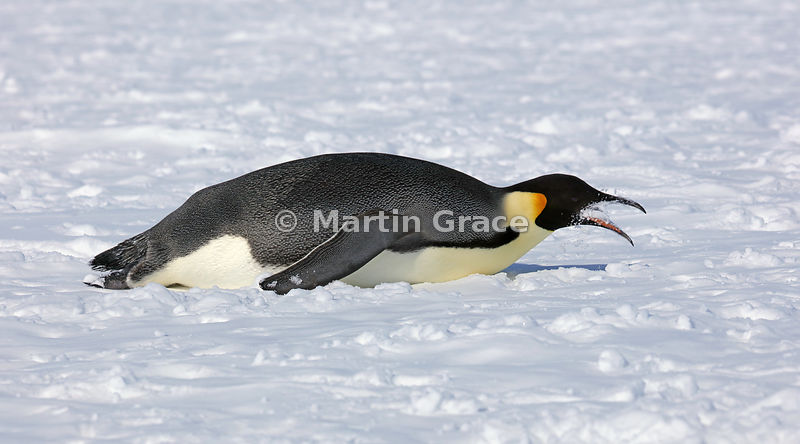 Adult Emperor Penguin (Aptenodytes forsteri) lying on its belly eating snow, by Snow Hill Island, Weddell Sea, Antarctica