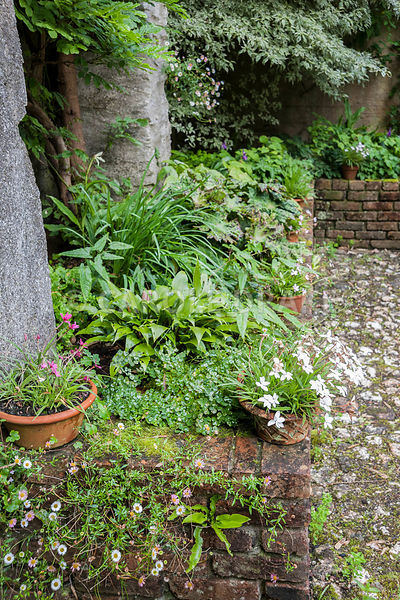 Raised bed planted with hostas, epimediums and Podophyllum versipelle 'Spotty Dotty', with self seeded Mexican daisy, Erigeron karvinskianus, in the foreground. Bosvigo, Truro, Cornwall, UK