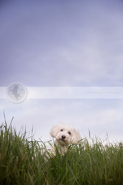 little white dog peeking from tall summer grass with sky and clouds